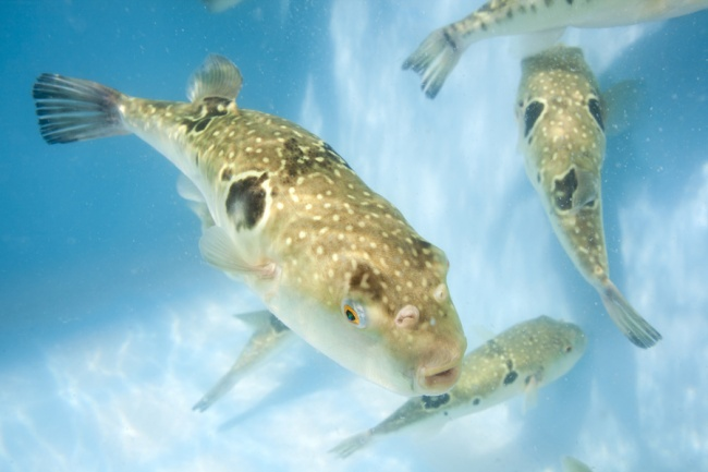 水槽を泳ぐ〝天草とらふぐ〟の水中写真です。