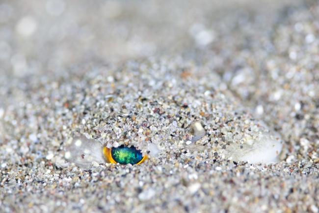 砂地に潜るクサフグ